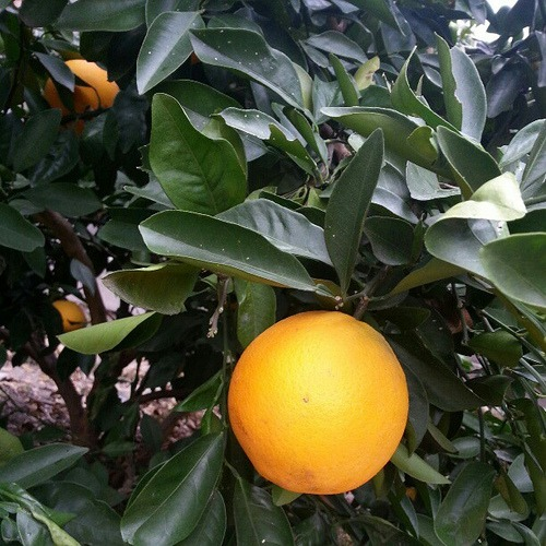 Winter Orange in @mathfour 's yard #Houston #citrus #orange