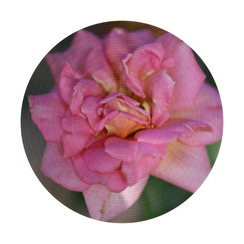 Rose petal curling #hg101