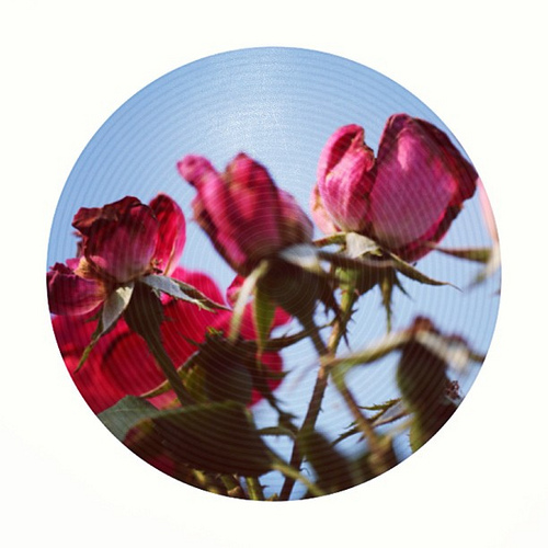Scorched roses #hg101