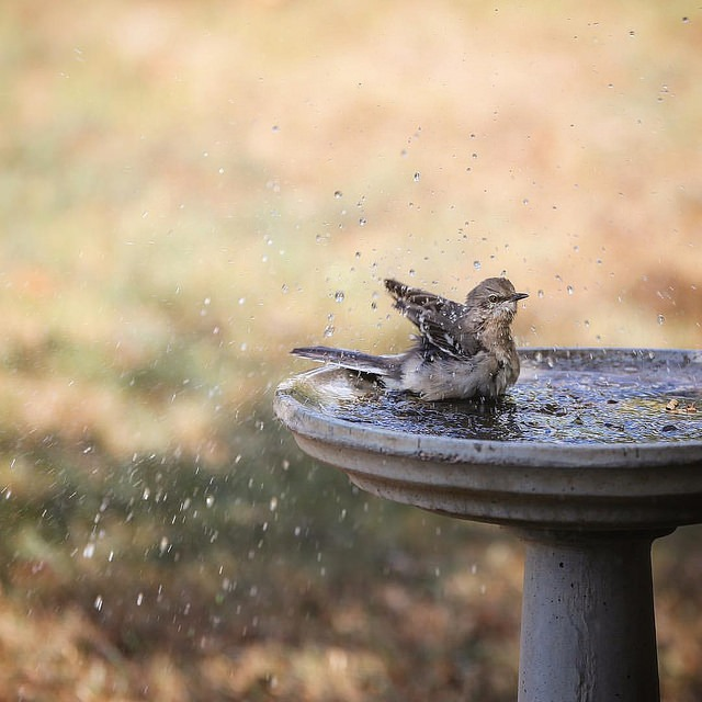 Mockingbird Bath via @sprittibee