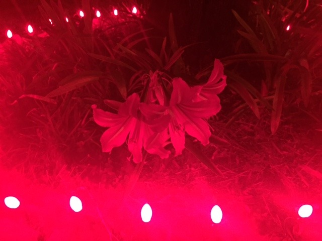 Amaryllis Christmas Flowers