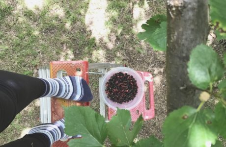 Mulberry Picking via Sprittibee