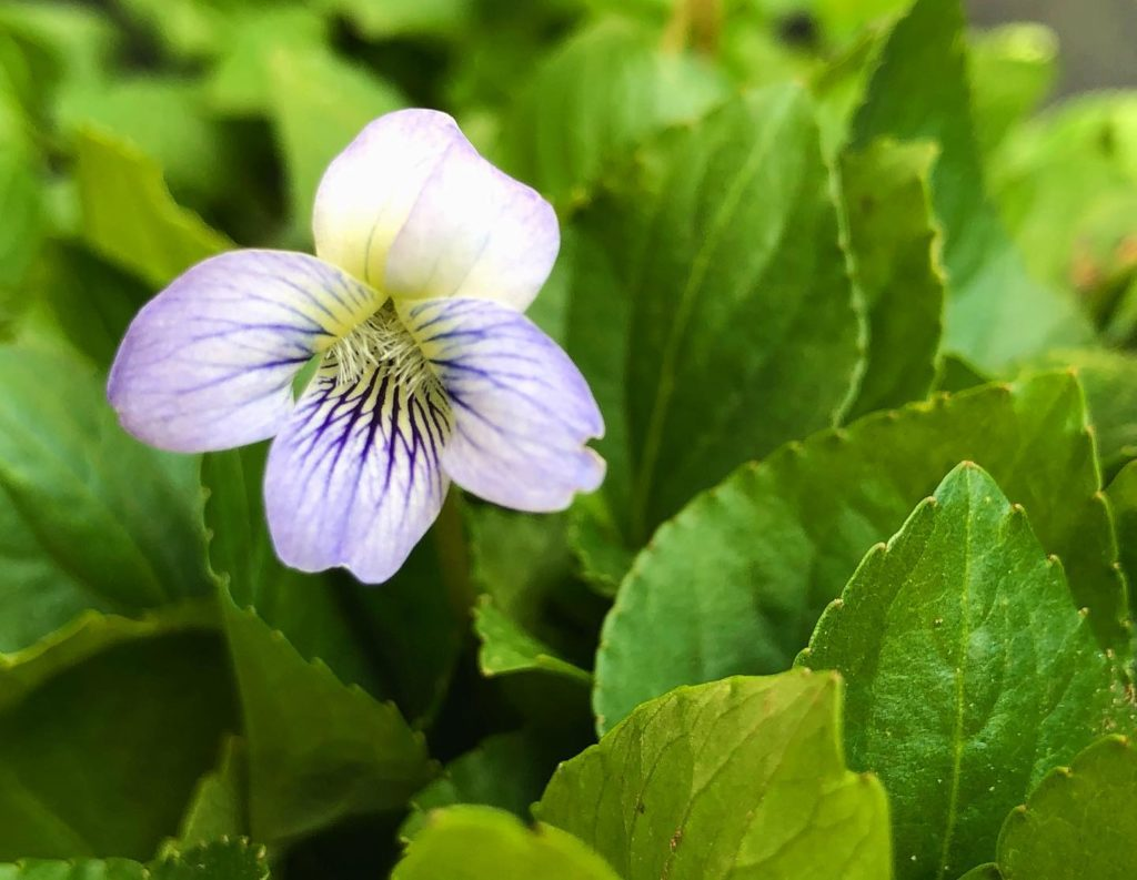 Wood Violet by @sprittibee
